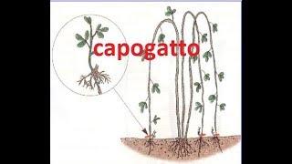 Moltiplicazione delle piante per capogatto