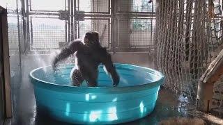 Gorilla goes crazy having fun in paddling pool