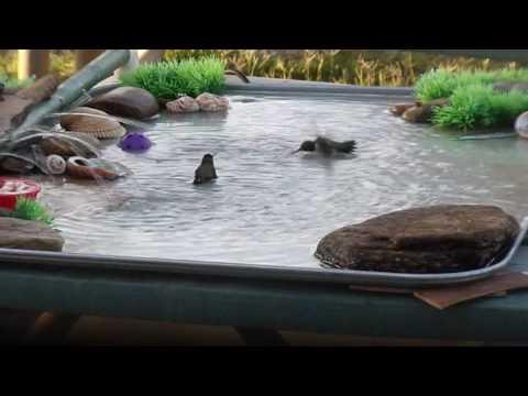 Hummingbirds Play in Homemade Bird Bath
