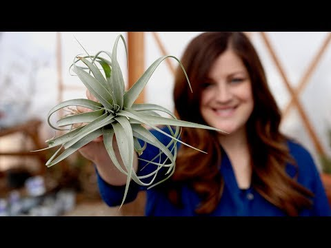 Air Plant Care Guide // Garden Answer