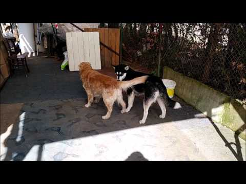 Heat(ed) play: Golden Retriever wants to, but Alaskan Malamute isn't for it | Dog in Heat
