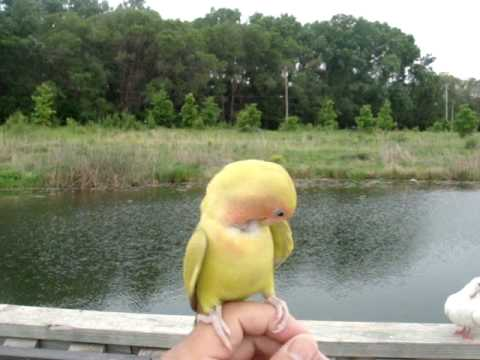 Sunny - Pet love bird free flying down from Sky to finger.