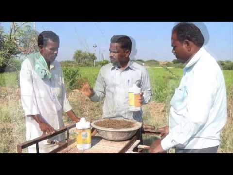 Neem oil application to paddy field to control white flies