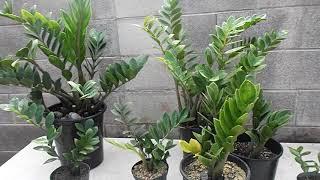 ZZ Plant🌿 Zamioculcas zamiifolia 🌿 Propagation and Care🌿 Zanzibar gem 🌿