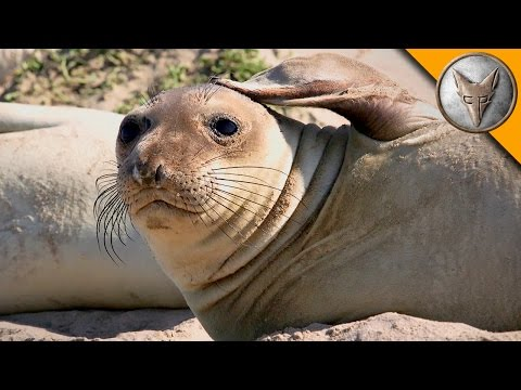 Elephant Seal Research Mission!