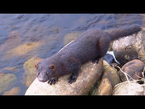 Fishing: a mink and a salmon. Рыбалка: норка и лосось.
