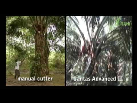 Palm Fruit : Manual Cutter vs Motorized Cutter (II)