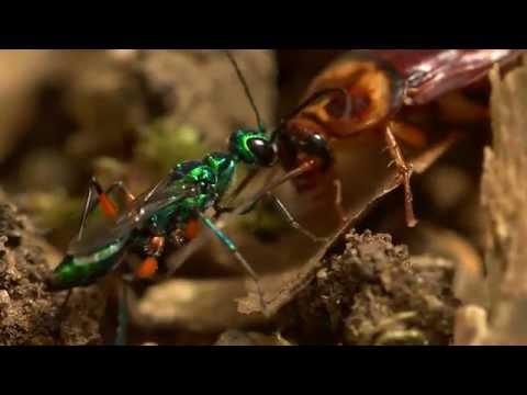 Beautiful wasp zombifies cockroach
