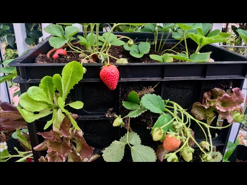 🍅 LIVE:Strawberry Lettuce Crate Tower Tips-Watering, New Plants, Keep the Harvest Coming (REPLAY)