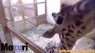 April kicks the vet! Then Kisses The Camera - April The Giraffe