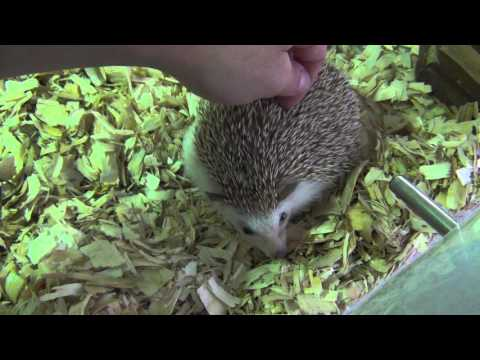 PET HEDGEHOGS - Everything you need to know!