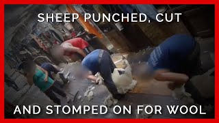 Sheep Punched, Stomped on, Cut for Wool