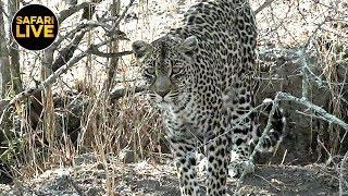 safariLIVE - Sunrise Safari - October 13, 2019