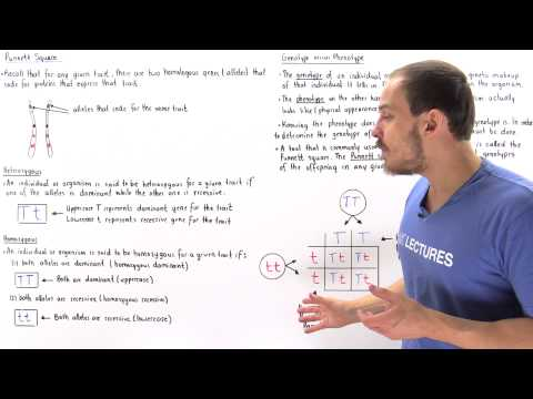 Genotypes, Phenotypes and Punnett Square