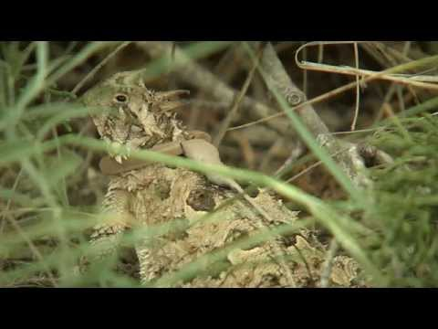 Horned Lizards on the Move - Texas Parks and Wildlife [Official]