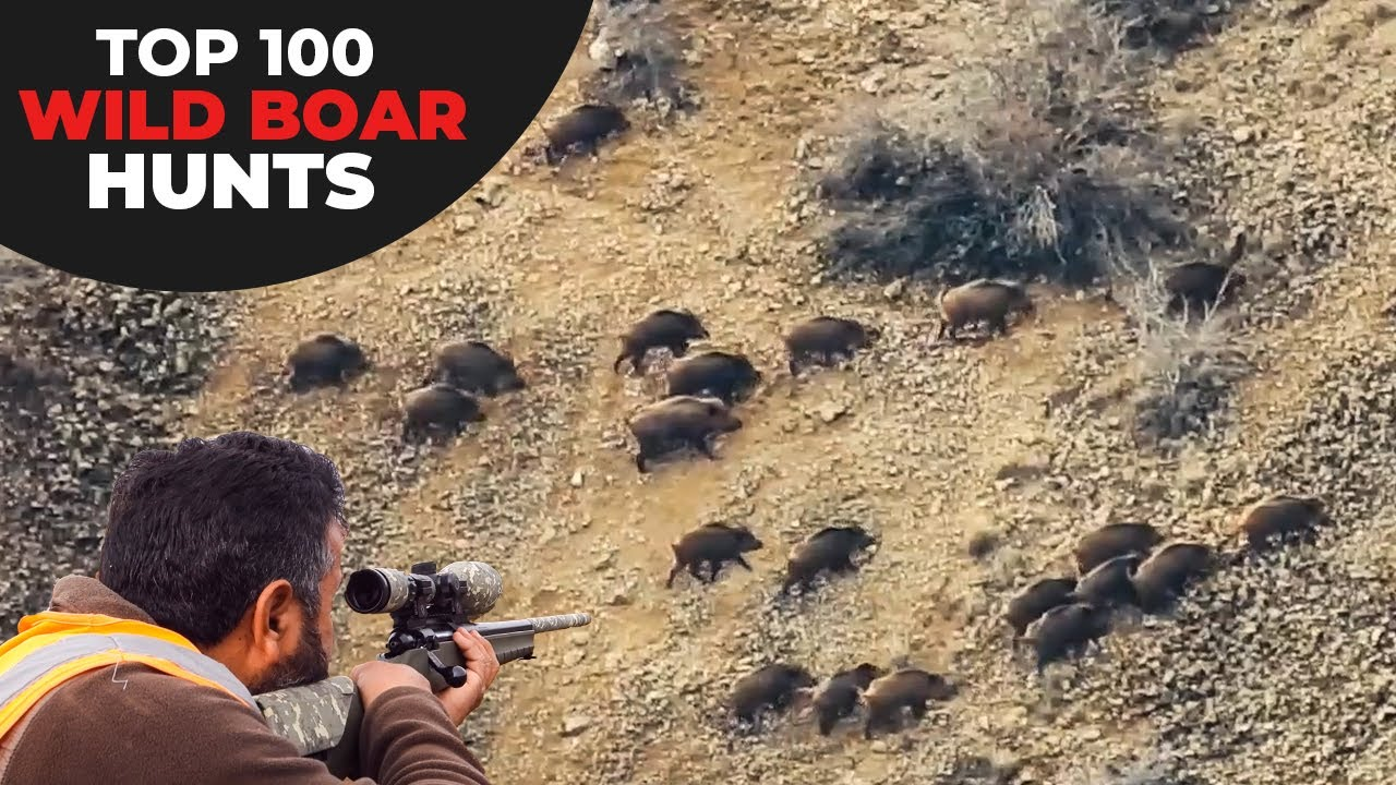 TOP 100 WILD BOAR HUNTS - EN İYİ 100 DOMUZ AVI - CHASSE AU SANGLIER