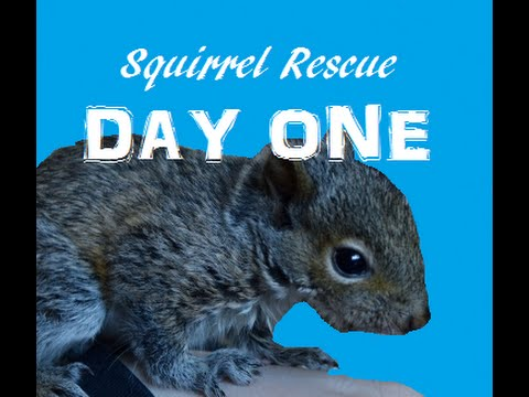 BABY SQUIRREL RESCUE -- DAY ONE!