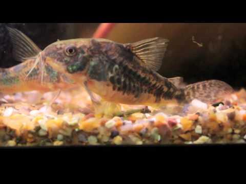 Corydoras Catfish breeding.mov