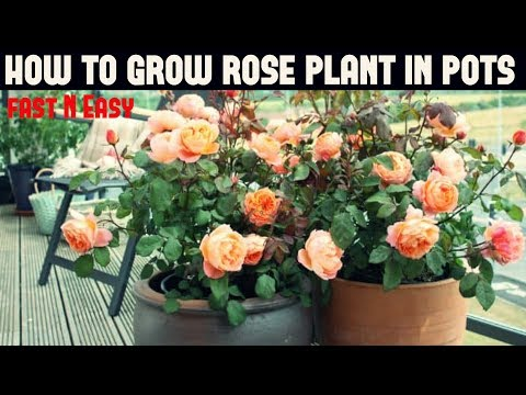 How to Grow Rose Plant (FAST N EASY)