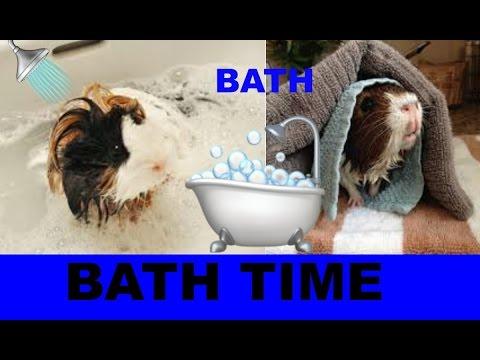 BATHING GUINEA PIGS