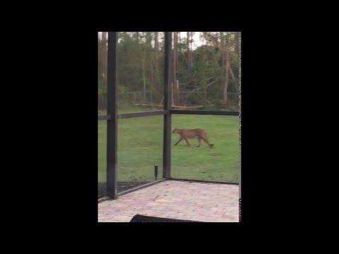 Footage of Endangered Florida Panther || ViralHog