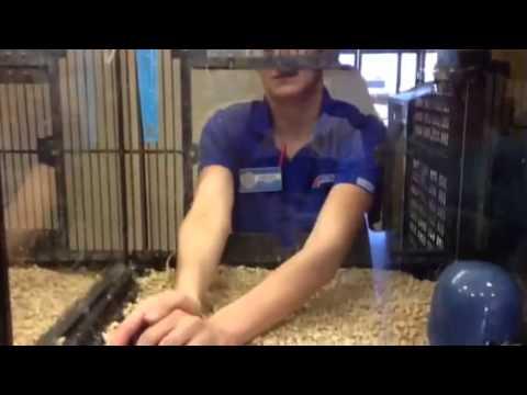 Petsmart Lady Tries To Catch Blue Parakeets