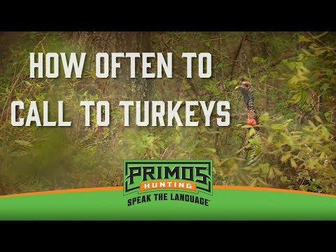 How Often to Call to Turkeys