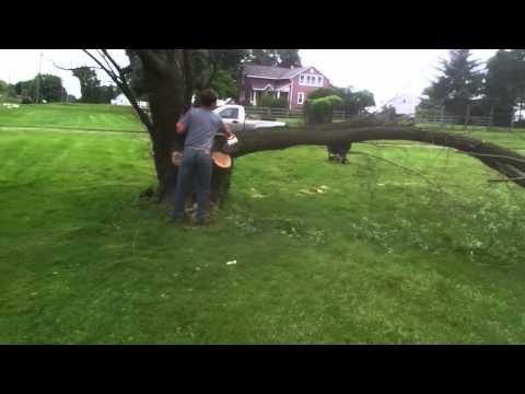 How to cut a tree off the stump safely. (Chainsaw safety precations)