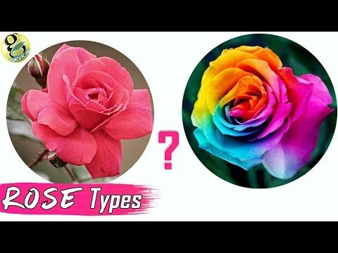 ROSE TYPES: DESI ROSE vs ENGLISH ROSE - Classification (kinds) + Difference Modern vs Garden Roses