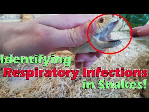 Identifying Upper Respiratory Infections in Snakes