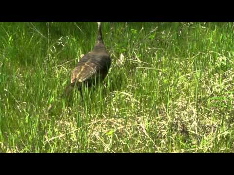 Turkey vs. Red-Tail Hawk