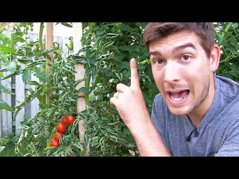 Our 6 Step Secret to Growing 10+ FOOT Tall Tomatoes ....Organically!
