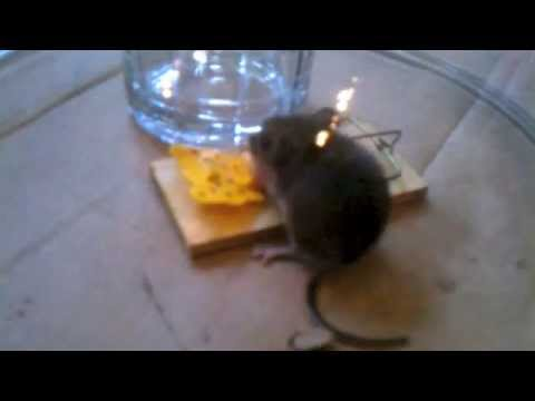 How to catch a mouse in your house
