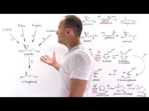 Metabolism of Amino Acids to Ketoglutarate
