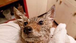 Download Botanist Rescues Abandoned Coyote Pup Video