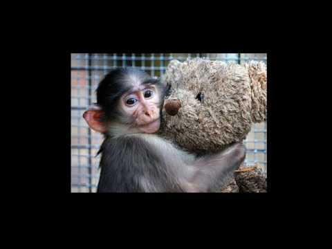 Harlow's Rhesus Monkey Experiments and the Attachment Theory - Children's Rights