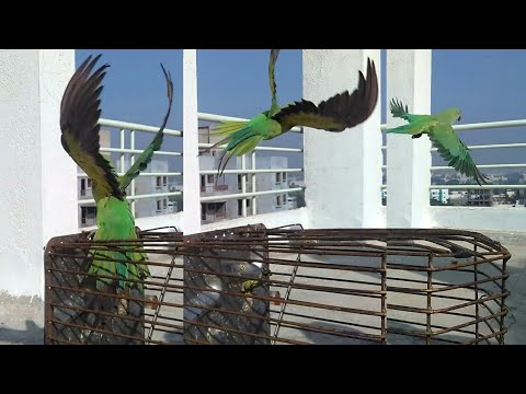 Indian ringneck parrot free fly. Freedom for parrot. Parrot goes out of cage.