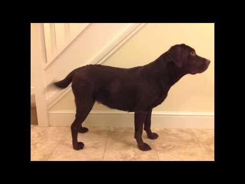 Ruby the Chocolate Labrador - Pregnancy Time Lapse