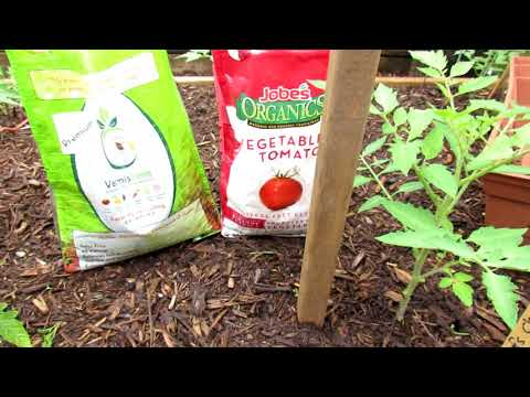 How to Grow Large Beefsteak Tomatoes (The Challenge):  Mulching,  Pruning, Staking, Fertilizing 2of6
