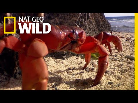 Millions of Red Crabs Swarm Christmas Island Every Year | Nat Geo Wild