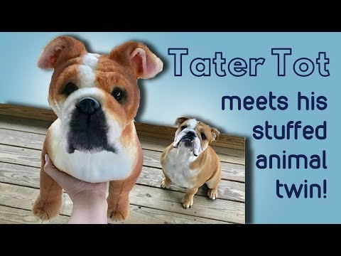 Tater Tot the Bulldog Meets his Stuffed Animal Twin!