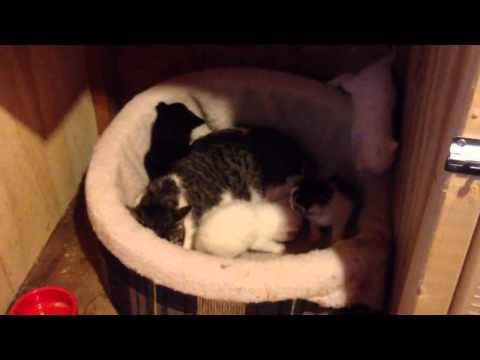 Trap And socialize a Feral Female and her 5 Kittens - Part 4