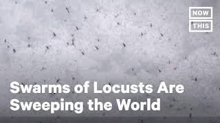Swarms of Locusts Are Sweeping India, Brazil, and the World | NowThis