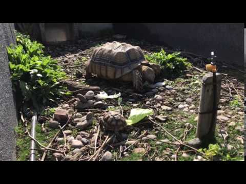 Turtles Sulcata
