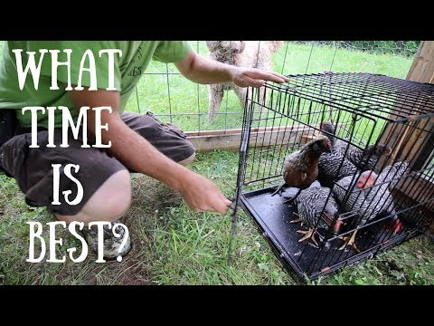 Whens the Best Time to Introduce new Chickens to your Flock