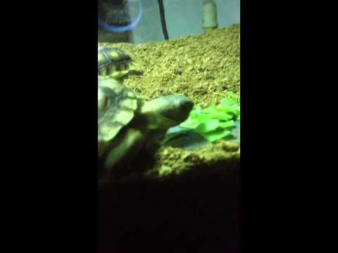 Baby Desert Tortoise 'Eats' Food