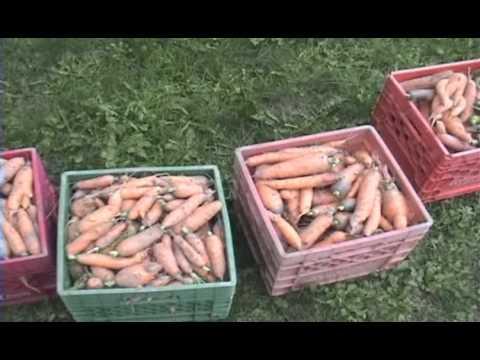 Storing Winter Carrots