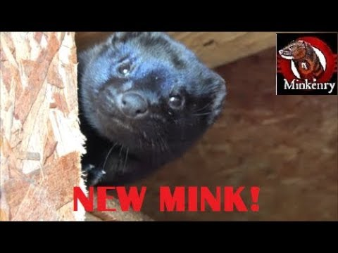 AWESOME New Hunting Mink!