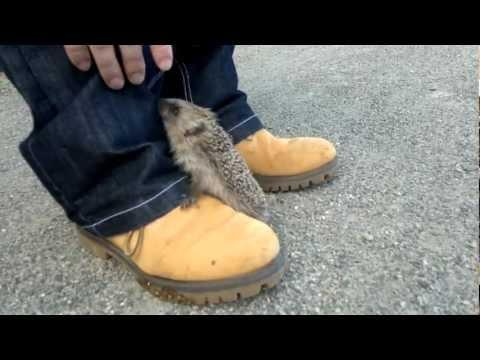 Funny baby hedgehog