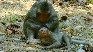 Baby monkey have gentle grooming from mom till sleep